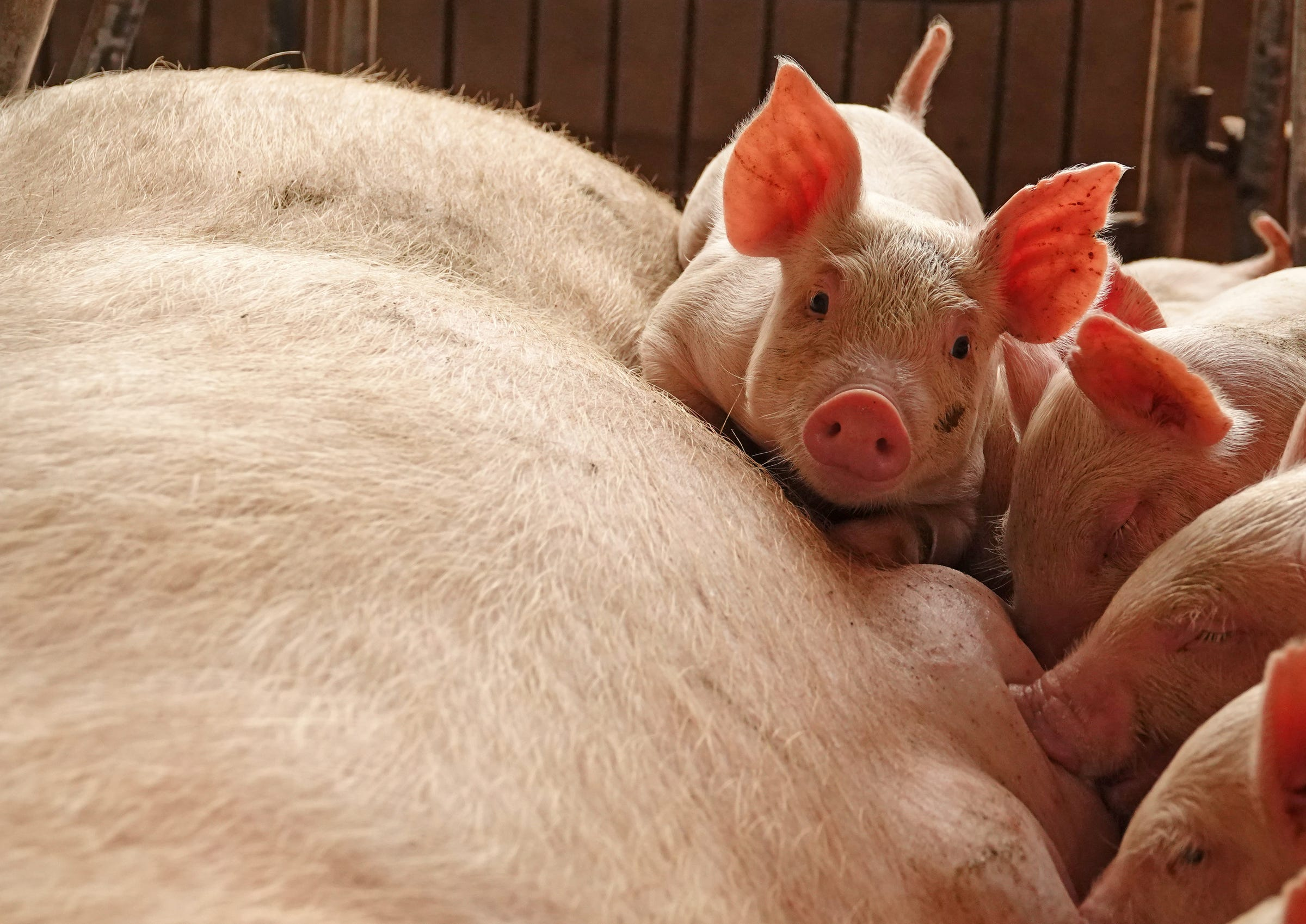 Pig and piglets on a  Chinese farm.JPG